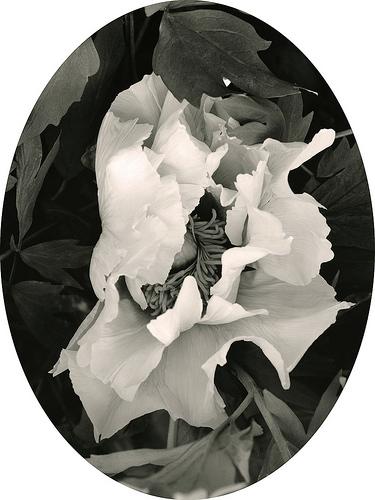 Unnamed Gratwick Tree Peony (Linwood Gardens, 2007) © Linda Elvira Piedra