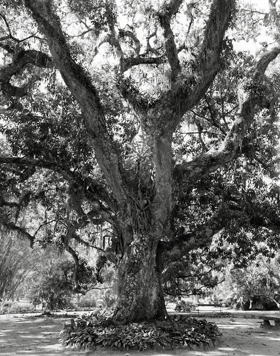 The Great Old Mango Tree (Jardim Botânico, Rio de Janeiro) © 2010 Sheila Newbery