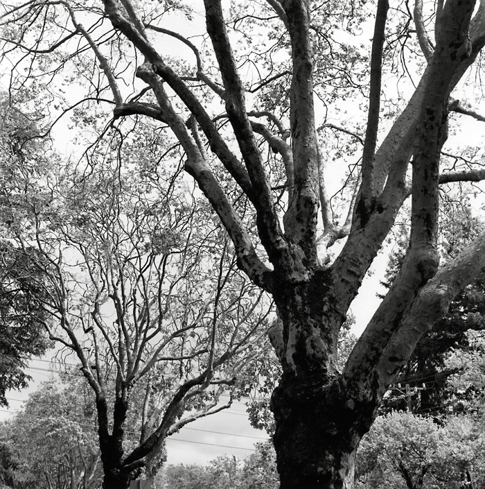 Plane trees (Berkeley, 2010) © Sheila Newbery