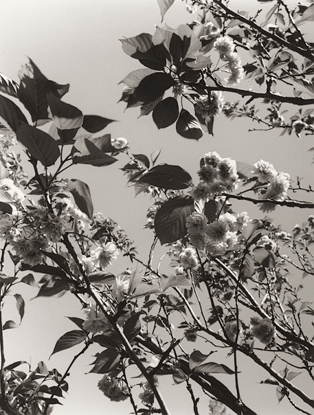 Blossoms no. 1 (Berkeley, 2009) © Sheila Newbery