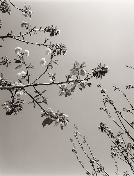 Blossoms no. 2 (Berkeley, 2009) © Sheila Newbery