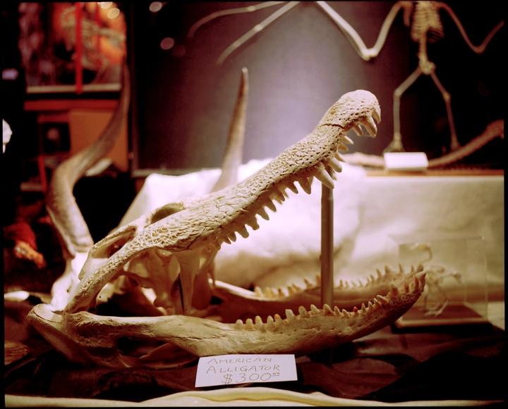 American Alligator (2011) © Sheila Newbery