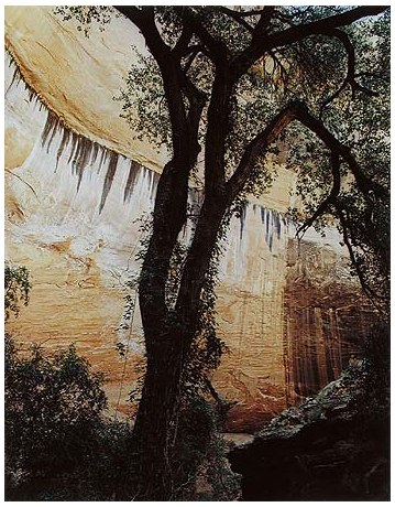 Cottonwood Tree in Alcove, Wilson Canyon, Utah, September 21, 1965