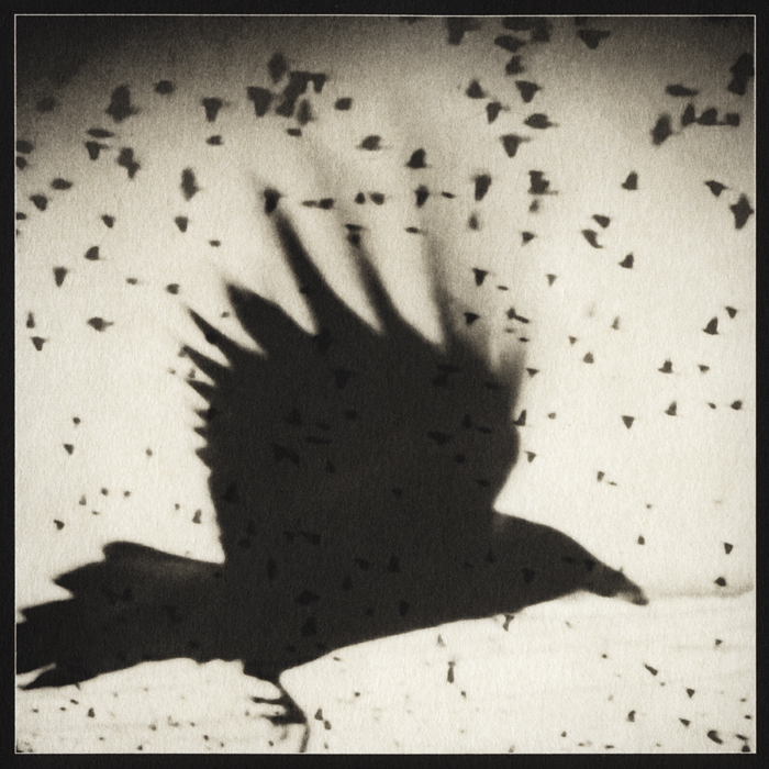 Blackbird, no. 9 (palladium print, 2012) by Sheila Newbery